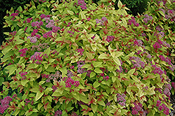 Magic Carpet Spirea (Spiraea x bumalda 'Magic Carpet') at Platt Hill Nursery