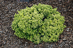 Golden Nugget Japanese Barberry (Berberis thunbergii 'Golden Nugget') at Platt Hill Nursery