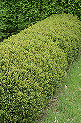 Green Gem Boxwood (Buxus 'Green Gem') at Platt Hill Nursery