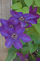 The President Clematis (Clematis 'The President') at Platt Hill Nursery