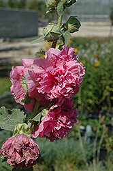 Chater's Double Pink Hollyhock (Alcea rosea 'Chater's Double Pink') at Platt Hill Nursery