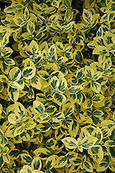 Emerald 'n' Gold Wintercreeper (Euonymus fortunei 'Emerald 'n' Gold') at Platt Hill Nursery