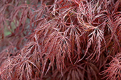 Crimson Queen Japanese Maple (Acer palmatum 'Crimson Queen') at Platt Hill Nursery