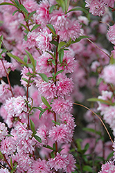 Double Pink Flowering Almond (Prunus glandulosa 'Rosea Plena') at Platt Hill Nursery