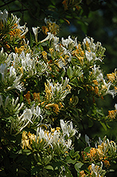 Yellow Honeysuckle (Lonicera flava) at Platt Hill Nursery