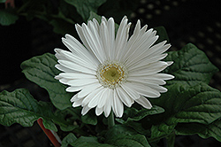 White Gerbera Daisy (Gerbera 'White') at Platt Hill Nursery