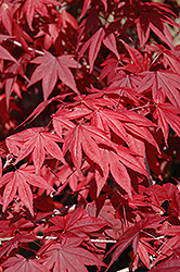 Emperor I Japanese Maple (Acer palmatum 'Wolff') at Platt Hill Nursery