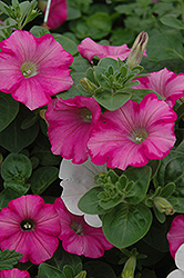 Supertunia® Raspberry Blast Petunia (Petunia 'Supertunia Raspberry Blast') at Platt Hill Nursery
