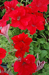 Dreams Red Petunia (Petunia 'Dreams Red') at Platt Hill Nursery