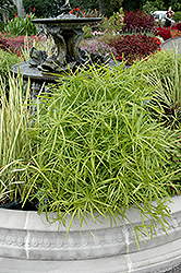Umbrella Plant (Cyperus alternifolius) at Platt Hill Nursery
