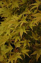Ryusen Japanese Maple (Acer palmatum 'Ryusen') at Platt Hill Nursery