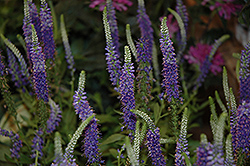 Hocus Pocus Speedwell (Veronica 'Hocus Pocus') at Platt Hill Nursery