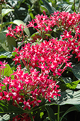 Butterfly™ Pink Star Flower (Pentas lanceolata 'Butterfly Pink') at Platt Hill Nursery