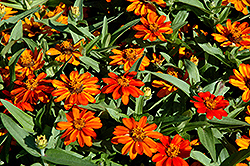 Profusion Orange Zinnia (Zinnia 'Profusion Orange') at Platt Hill Nursery