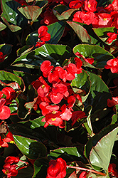 Whopper® Red Green Leaf Begonia (Begonia 'Whopper Red Green Leaf') at Platt Hill Nursery