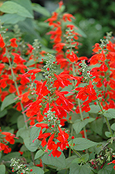 Lady In Red Sage (Salvia coccinea 'Lady In Red') at Platt Hill Nursery