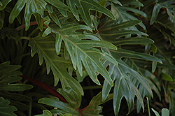 Xanadu Philodendron (Philodendron 'Winterbourn') at Platt Hill Nursery
