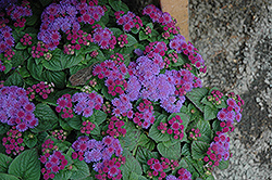 Artist Blue Violet Flossflower (Ageratum 'Artist Blue Violet') at Platt Hill Nursery