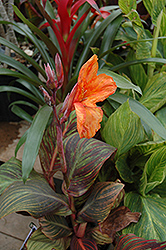 Tropicana Canna (Canna 'Tropicana') at Platt Hill Nursery