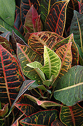 Variegated Croton (Codiaeum variegatum 'var. pictum') at Platt Hill Nursery