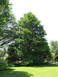Katsura Tree (Cercidiphyllum japonicum) at Platt Hill Nursery