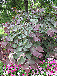 Forest Pansy Redbud (Cercis canadensis 'Forest Pansy') at Platt Hill Nursery