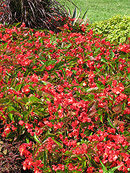 Dragon Wing Red Begonia (Begonia 'Dragon Wing Red') at Platt Hill Nursery