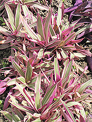 Variegated Moses In The Cradle (Tradescantia spathacea 'Variegata') at Platt Hill Nursery