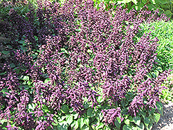 Vista™ Purple Sage (Salvia splendens 'PAS3292') at Platt Hill Nursery