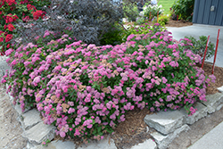Double Play® Pink Spirea (Spiraea japonica 'SMNSJMFP') at Platt Hill Nursery