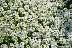 Frosty Knight® Alyssum (Lobularia 'Frosty Knight') at Platt Hill Nursery