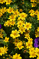 Goldilocks Rocks Bidens (Bidens ferulifolia 'Goldilocks Rocks') at Platt Hill Nursery
