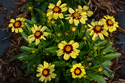 UpTick™ Yellow and Red Tickseed (Coreopsis 'Baluptowed') at Platt Hill Nursery