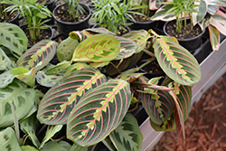 Prayer Plant (Maranta leuconeura 'var. erythroneura') at Platt Hill Nursery