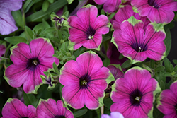 Supertunia® Pretty Much Picasso Petunia (Petunia 'Supertunia Pretty Much Picasso') at Platt Hill Nursery