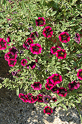 Superbells® Blackberry Punch Calibrachoa (Calibrachoa 'Superbells Blackberry Punch') at Platt Hill Nursery