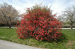 Texas Scarlet Flowering Quince (Chaenomeles speciosa 'Texas Scarlet') at Platt Hill Nursery