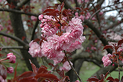 Royal Burgundy Flowering Cherry (Prunus serrulata 'Royal Burgundy') at Platt Hill Nursery