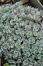 Japanese Stonecrop (Sedum cauticola) at Platt Hill Nursery