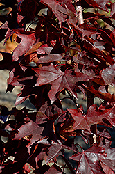 Crimson Sunset Japanese Maple (Acer 'JFS-KW202') at Platt Hill Nursery