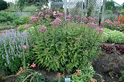 Baby Joe Dwarf Joe Pye Weed (Eupatorium dubium 'Baby Joe') at Platt Hill Nursery