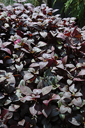 Little Ruby Alternanthera (Alternanthera dentata 'Little Ruby') at Platt Hill Nursery