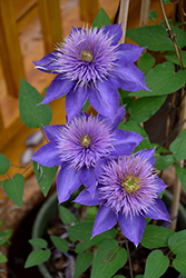 Multi Blue Clematis (Clematis 'Multi Blue') at Platt Hill Nursery