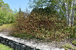 Bailey's Red Twig Dogwood (Cornus sericea 'Baileyi') at Platt Hill Nursery