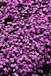 Emerald Pink Moss Phlox (Phlox subulata 'Emerald Pink') at Platt Hill Nursery