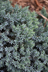 Blue Star Juniper (Juniperus squamata 'Blue Star') at Platt Hill Nursery