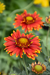Arizona Red Shades Blanket Flower (Gaillardia x grandiflora 'Arizona Red Shades') at Platt Hill Nursery