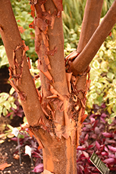 Paperbark Maple (Acer griseum) at Platt Hill Nursery