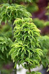 Lions Head Japanese Maple (Acer palmatum 'Shishigashira') at Platt Hill Nursery