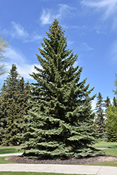 Blue Colorado Spruce (Picea pungens 'var. glauca') at Platt Hill Nursery